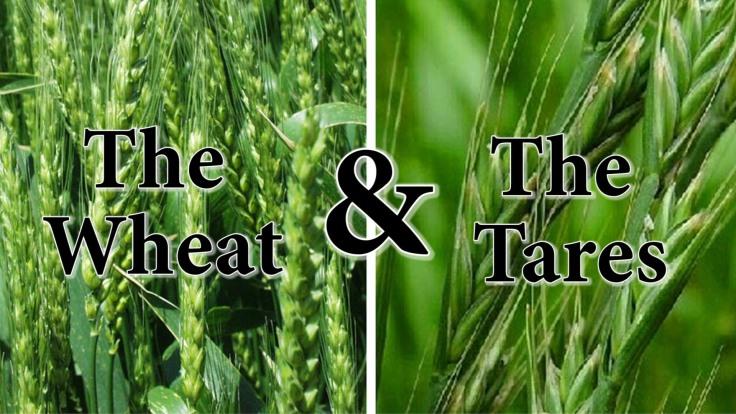 wheat-tares_jenner1
